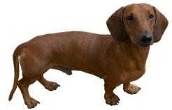 pretty dachshund