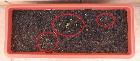 Depois, em outro vaso que compramos mais tarde, nasceram o manjericão e vários pezinhos de cebolinha!
