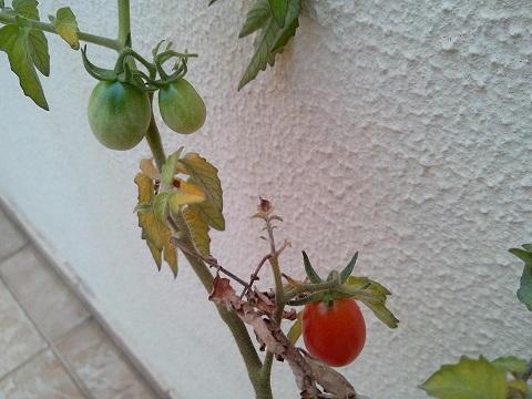 tomatim1