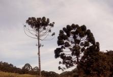 Araucárias embelezam a paisagem das trilhas