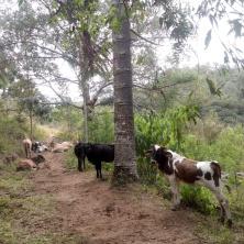 Vaquinhas e boizinhos no nosso caminho :)