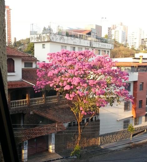 Foto tirada em 23.8.2014 por Otávio Bizzotto, de um ipê que fica na rua Miton Vieira Pinto, no bairro Cidade Nova.