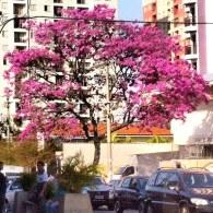 Lindo ipê flagrado por Marina Cruz, no Sacomã (São Paulo capital), em 26.6.2014