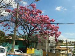 Foto de Ana Paula Pedrosa de ipês na avenida D. João VI, no bairro Palmeiras, em BH, tiradas em 21.8.2014.