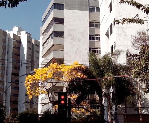 Ipê na rua Estêvão Pinto com Caraça, no bairro Serra, fotografado por CMC em 10.9.2014