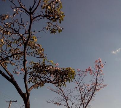 Ipê na av. Amazonas, altura do 8.524, em foto tirada por CMC em 11.9.2014