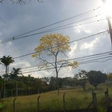Ipê clicado por Dea Carvalho na Pampulha, em 5.9.2015