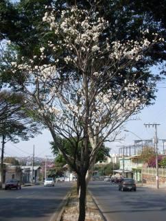 Ipê fotografado por Dea Carvalho na região do Barreiro, no início de setembro/2015.