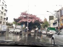 Ipê chuvoso na Contorno com Carangola. Foto: CMC em 9.9.2015