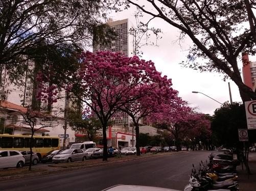 Foto de ipê na avenida do Contorno. CMC, em 29.7.2017