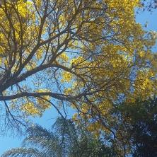 Ipê amarelo na av Francisco Deslandes (BH) clicado em 20.8.2017 por CMC.