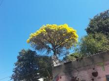 Ipê clicado por CMC no bairro Saudade, BH, em 27.8.2017.