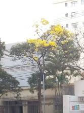 Ipê clicado por CMC no bairro Funcionários, BH, em 27.8.2017.