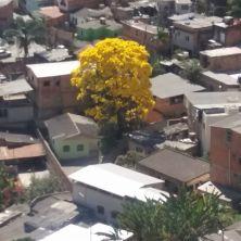 Lindo ipê embelezando uma favela de Beagá. Foto de Mônica Moreno, em 8.9.2017