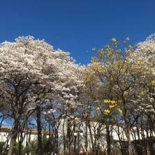 Ipês brancos e um amarelo, em São José do Rio Preto (SP), clicados por Ana Cristina Viana e enviados por Helena Neviani em 28.8.2017.