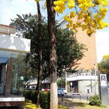 Ipê amarelo na av Brasil (BH) clicado em 21.8.2017 por Beto Trajano.
