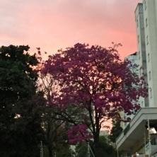 Ipê rosa com céu rosa em Campinas :) Clique de Mariana Faria no dia 16.7.2017.
