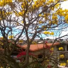 Ipê clicado por Déa Carvalho, na E.E. Aurino de Moraes, no dia 1/8/2015, no bairro Vale do Jatobá, BH