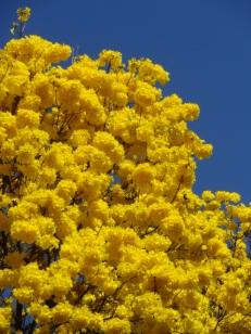 Ipê amarelo que está na av. Assis Chateaubriand, em BH. Foto de Gustavo Oliveira enviada em 24.8.2017.