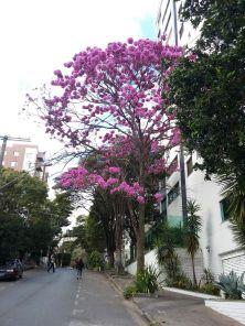 Ipê fotografado por Beto Trajano no bairro Carmo, em BH. 20.7.2017