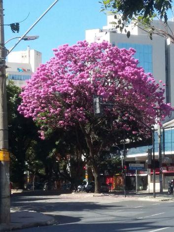 Lindo ipê na esquina da Getúlio Vargas com Contorno, na Savassi. Foto de Beto Trajano em 25.7.2017