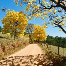 Lindos ipês colorem a paisagem em Caconde (SP), em foto enviada por Laura Camelo, em 31.8.2017.