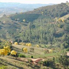 Lindos ipês colorem a paisagem em Caconde (SP), em foto enviada por Laura Camelo em 31.8.2017.