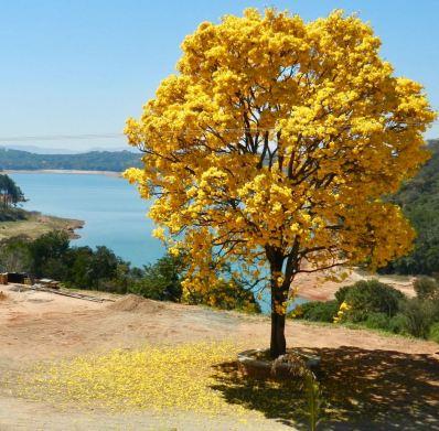 Lindo ipê amarelo clicado em Caconde (SP), em foto enviada por Laura Camelo, em 31.8.2017.