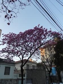 Ipê fotografo por Gustavo Oliveira na rua Marechal Deodoro, no bairro Floresta, BH. Foto de 25.7.2017