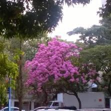 Ipê na Avenida Brasil, em BH. Foto: Déa Carvalho, em 17.7.2015