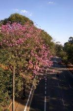 Ipê clicado por Clara Machado, na avenida Sumaré (SP), em 8.7.2017