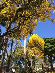 Ipês em uma praça em Conceição dos Ouros, Sul de Minas, fotografados por Jacinta Ferreira em 4.9.2017 :)