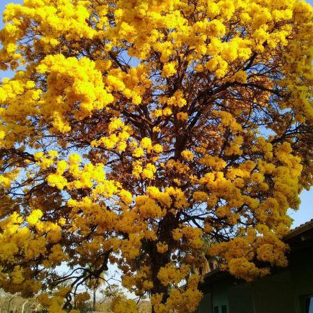 Ipê amarelo em Lagoa Santa (MG), clicado por Laura Camelo, no dia 27.8.2017