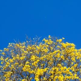 Lindo ipê amarelo fotografado por Marcilia Bevitori em Viçosa (MG) em 1/8/2015