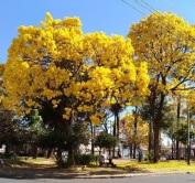 Lindos ipês clicados em 30.9.2017 por Paulo Torres na praça Negrão de Lima, no Floresta, em BH. Enviados pelo Instagram