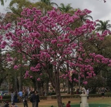 Ipês clicados por Paulo Torres no dia 31.7.2017 na Praça da Liberdade, cartão postal de BH. Ele marcou o @blogdakikacastro no Instagram ;)
