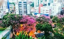 Ipês na av. Prudente de Moraes, BH, clicados por Urian Antunes e enviados em 4.10.2017