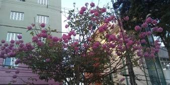 Ipê na rua Boa Esperança, no bairro Carmo. BH. Clique de CMC no dia 28/6/2019