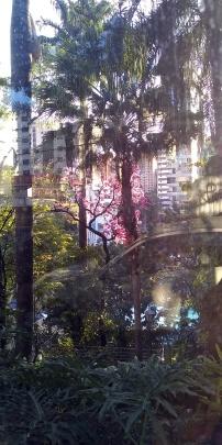 Ipê dentro do Minas Tênis Clube, na rua da Bahia, visto através do muro de vidro. Clique de CMC em 28.6.2019