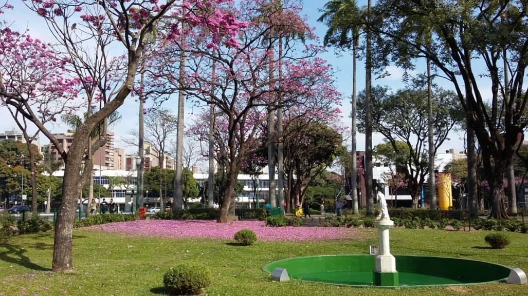 Ipês na Praça da Liberdade fotografados por Beto Trajano em 4.8.2019. Olha o tapete de flores!
