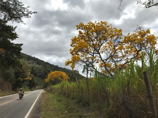 Foto de Francisco Martins de ipês na estrada de Santa Maria de Itabira (MG). Enviada em 10.9.2019