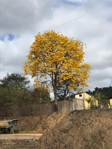 Foto de Francisco Martins de ipê em Itabira (MG). Enviada em 10.9.2019