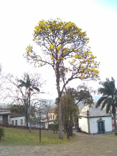 Ipê amarelo em Congonhas (MG). Foto de CMC em 29.7.2019