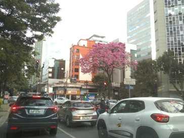 Ipê na avenida do Contorno. Foto: CMC