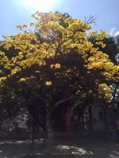 Ipê no Pátio do Colégio, em São Paulo. Clique de Jacinta Ferreira em 31.8.2019.
