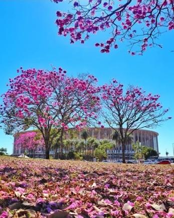 Ipê clicado ao lado do Planetário de Brasília (DF), por Matheus (@arvoresdocerrado), enviado por Nancy Oliveira.