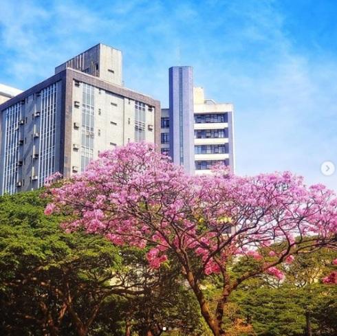 Ipê clicado por Wander Veroni na esquina da avenida Francisco Sales com av. Brasil, na área hospitalar de BH, no dia 2.7.2019