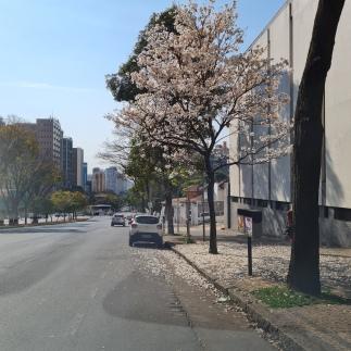 Ipê na Avenida Afonso Pena, Funcionários, BH. Foto: Heli Freitas, no fim de agosto.