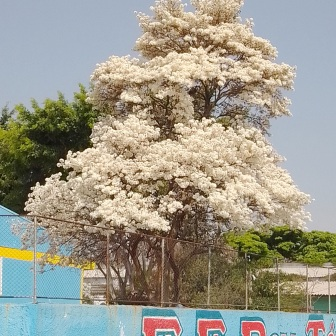 Ipê branco num colégio da zona leste de São Paulo. Foto de Keli Vasconcelos, no início de setembro.