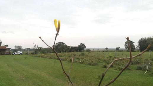 Primeira florada de muda plantada há dois anos. Foto de Wladmir Demaraco, em Palmital/Osório-RS, em 8/9/2021.